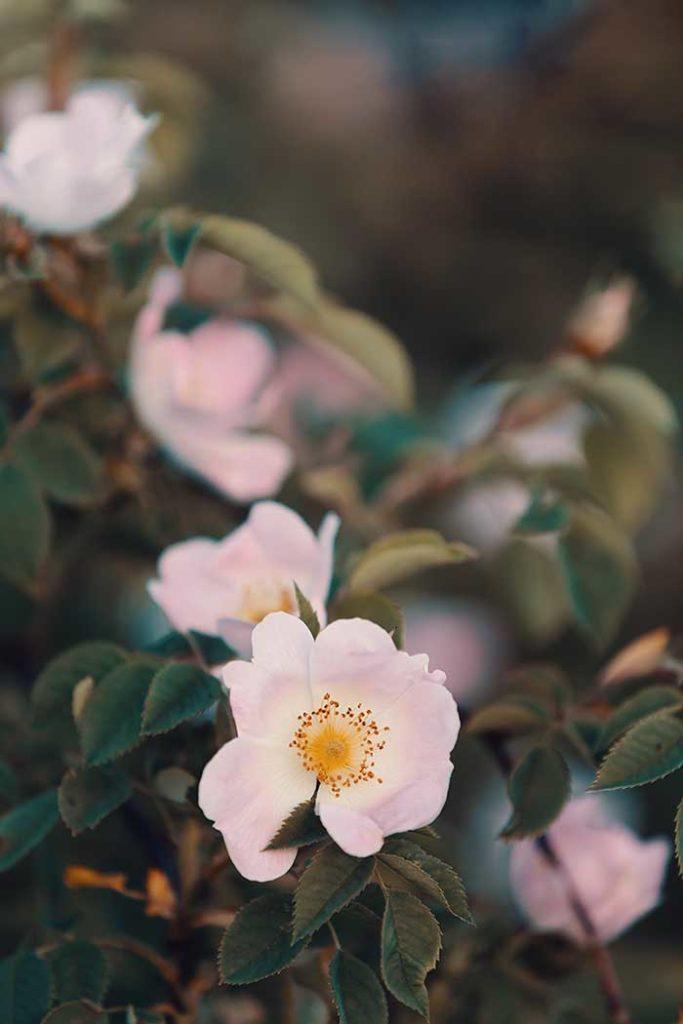Wild Rose Alberta